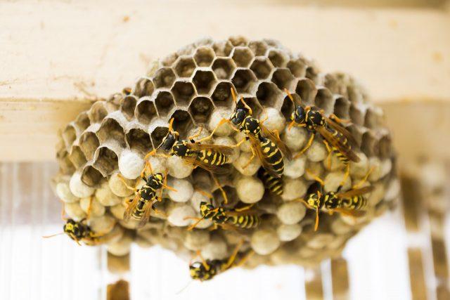 Assurer la destruction du nid de frelons de guêpes à Avignon
